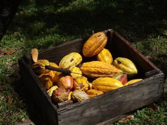 แคสตรีส์, เซนต์ลูเซีย: Cocoapods... where chocolate comes from!
