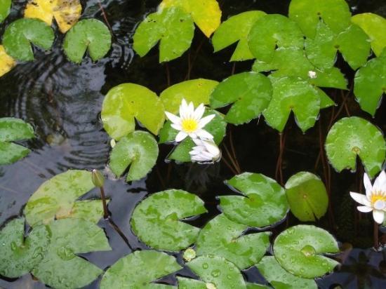 ชาร์ลอตต์อะมาลี, เซนต์ โทมัส: Water lilies in fountain