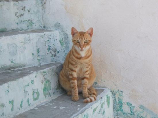 ไอออส, กรีซ: gatto in posa sempre a ios