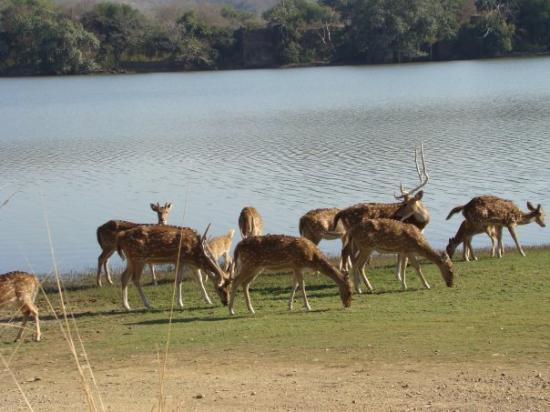 Ranthambore National Park, อินเดีย: Prey