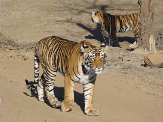 Ranthambore National Park, อินเดีย: Brother & Sister