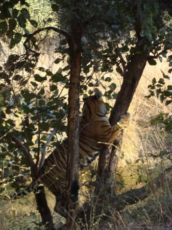 Ranthambore National Park, อินเดีย: Male Cub acting Tarzan