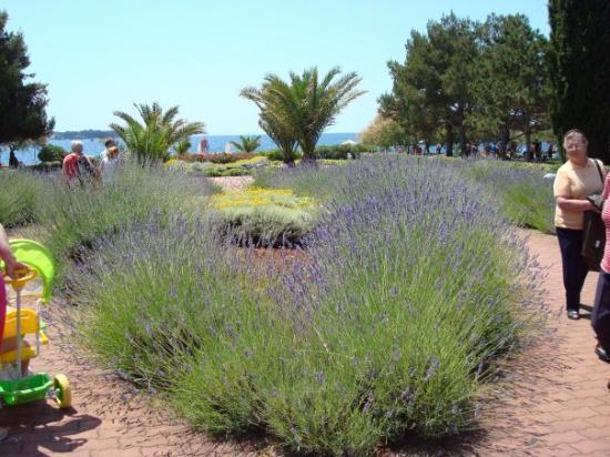 Porec, โครเอเชีย: Det växer lavendel på många ställer i Istrien..