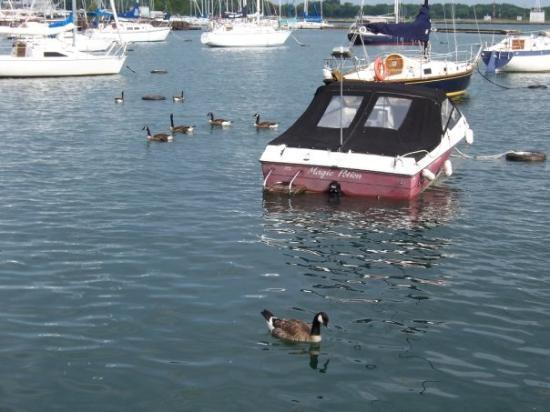 โตรอนโต, แคนาดา: Canadian geese