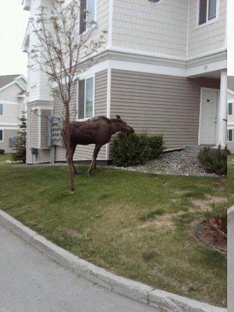 แองเคอเรจ, อลาสกา: Moose at apartment