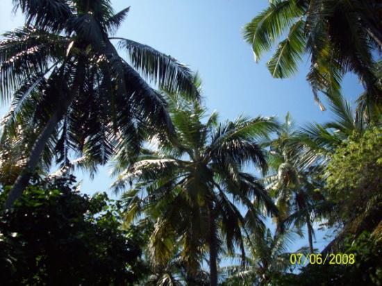 มาเล: jus cool coconut tress
