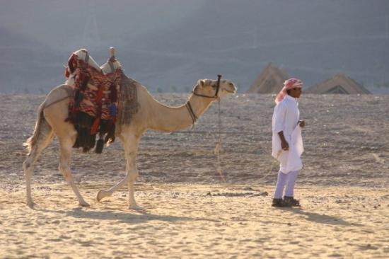 ตาบา, อียิปต์: Camelot and his owner