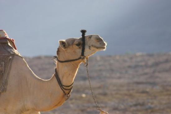 ตาบา, อียิปต์: Camel Camelot :)
