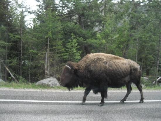 อุทยานแห่งชาติเยลโลว์สโตน, ไวโอมิง: Buffalo...and it is called a buffalo