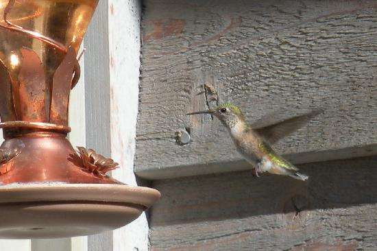 Ida-Home B&B: The humming birds were everywhere!