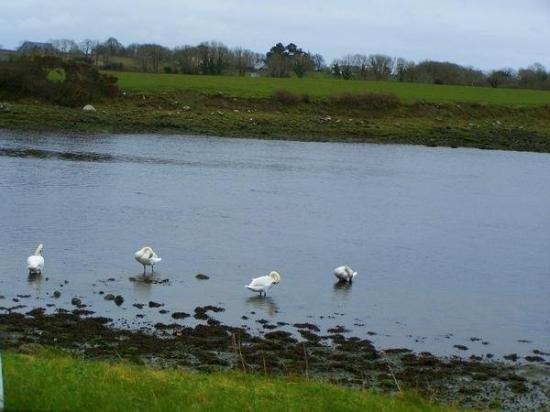 กัลเวย์, ไอร์แลนด์: Swans basking in the ambiance.