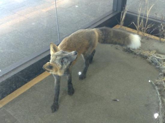 แองเคอเรจ, อลาสกา: Un fox jajajajajja