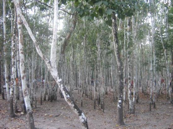 Forêt de Coba ( Elle me fait penser à la forêt interdite dans Harry Potter. )