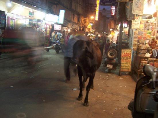 นิวเดลี, อินเดีย: Random Cows in the Street Are Common