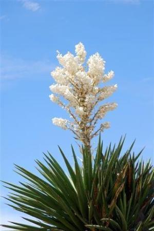 Fort Davis, TX: yucca flower