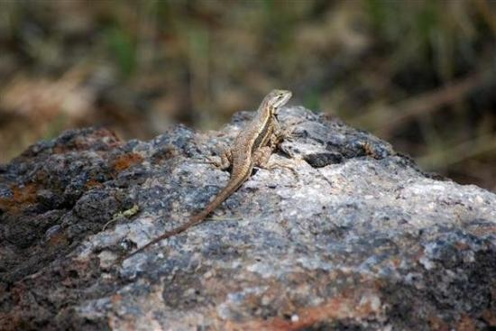 Fort Davis, TX: lizard