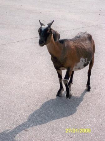 ฮานอย, เวียดนาม: 懷孕的山羊