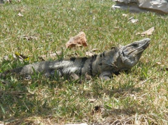 พลายาเดลคาร์เมน, เม็กซิโก: Iguanas everywhere