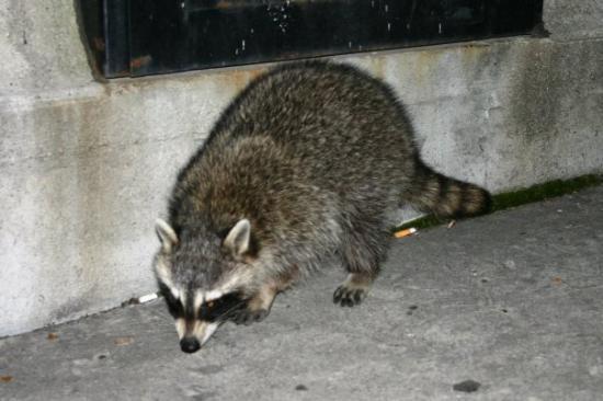 แฮมิลตัน, แคนาดา: raccoon in search of food