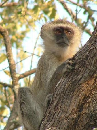 Chobe National Park, บอตสวานา: There's Zoie...I mean a monkey