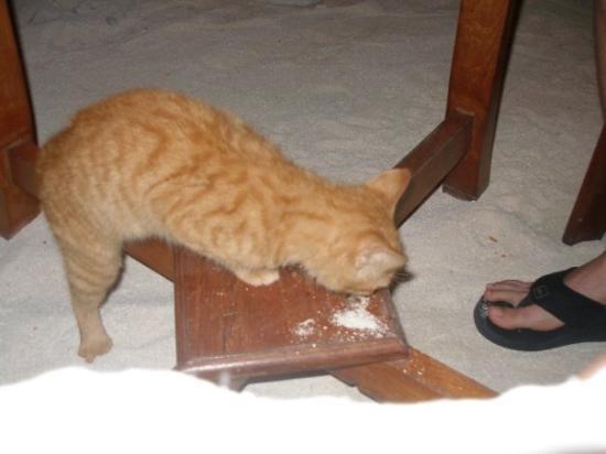 โบราโบรา, เฟรนช์โปลินีเซีย: The kitten we fed every night!  He ate well.