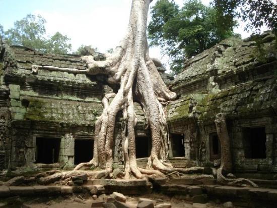 ปราสาทตาพรหม: Ta Prohm.   My favorite picture. I just love how the roots just cascade down the temple.