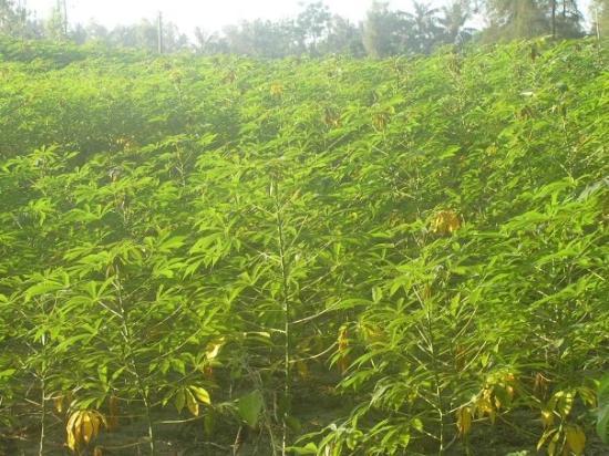 Quang Ngai, เวียดนาม: Ruộng khoai mì :d