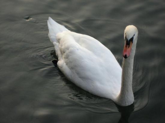 ลูเซิร์น, สวิตเซอร์แลนด์: Swan near the Chapel Bridge, Lake Luzern, Switzerland