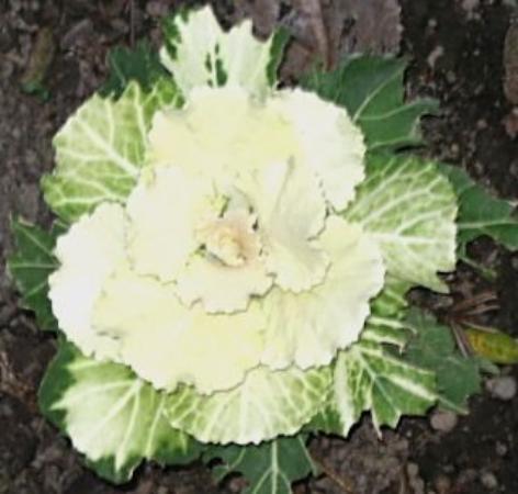 ไครสต์เชิร์ช, นิวซีแลนด์: Mandala flower