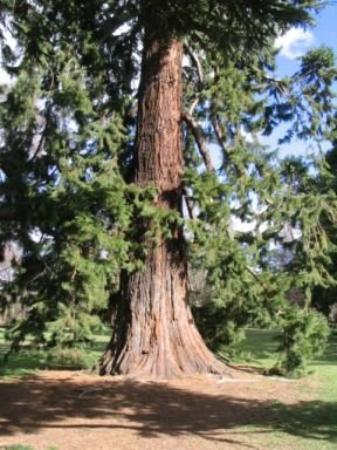 ไครสต์เชิร์ช, นิวซีแลนด์: 'Grandfather Tree'... Christchurch, NZ botanical gardens