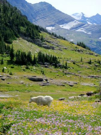 Glacier National Park, มอนแทนา: Mountain Goat, Logan Pass, Glacier NP