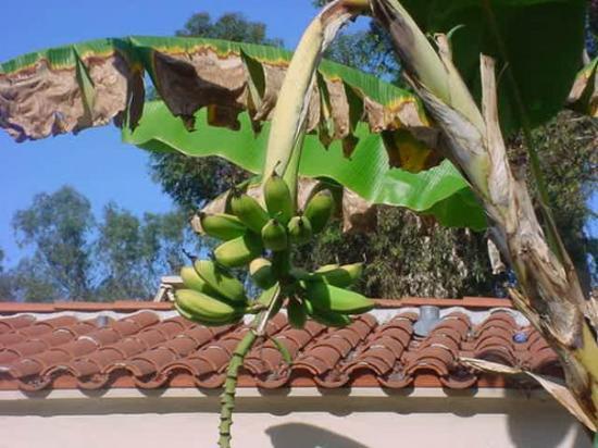 ซานดีเอโก, แคลิฟอร์เนีย: I love the banana tree!!!!