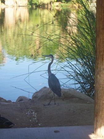 ฟินิกซ์, อาริโซน่า: A Blue Heron