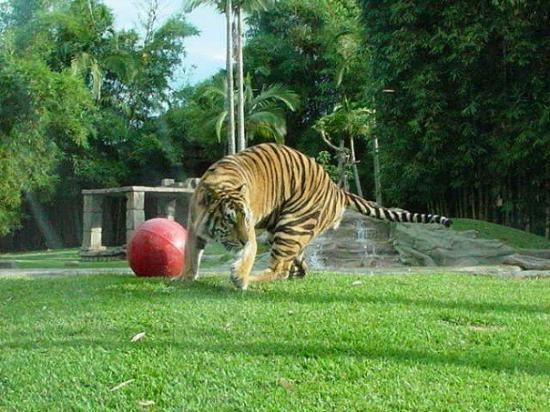 Australia Zoo: Tiger Tiger burning bright.....In the forests of the night.....What immortal hand or eye.....Can