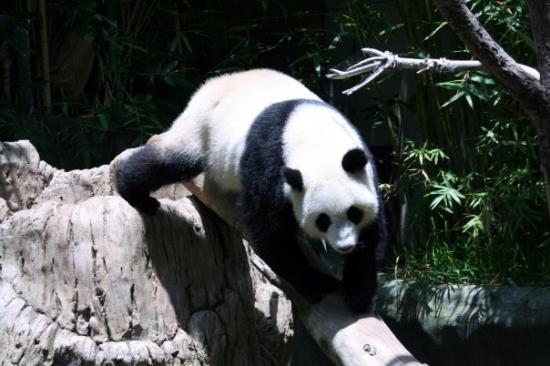 ซานดีเอโก, แคลิฟอร์เนีย: San Diego, California San Diego Zoo  Giant Panda