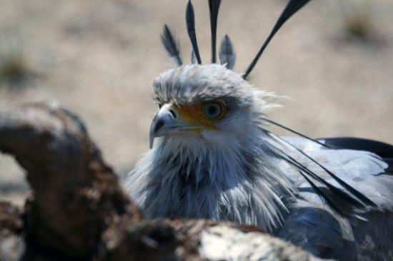 ซานดีเอโก, แคลิฟอร์เนีย: San Diego, California San Diego Zoo  Secretary Bird