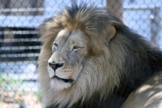 ซานดีเอโก, แคลิฟอร์เนีย: San Diego, California San Diego Zoo  Lion