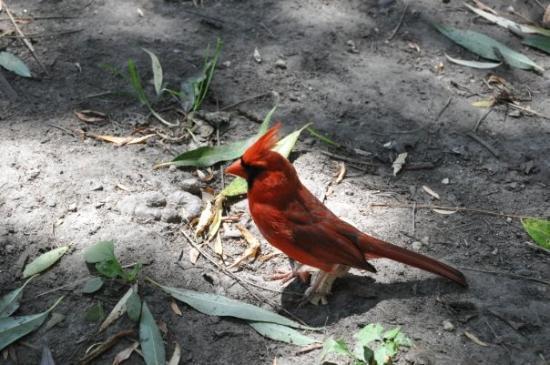 เซ็นทรัลปาร์ค: Red Cardinal.