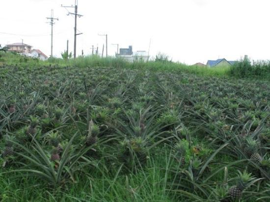 Tagaytay, ฟิลิปปินส์: Pinapple farm