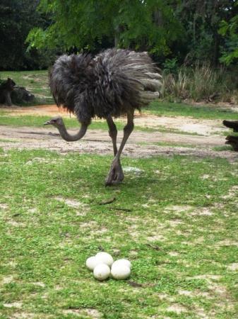 ดิสนียส์ แอนิมอล คิงดอม: Ostrich with her eggs