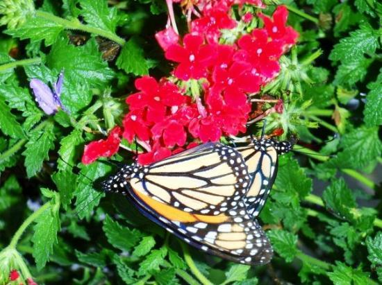 เอ็ปคอต: In the butterfly garden at Epcot. Daniel got this little beauty!