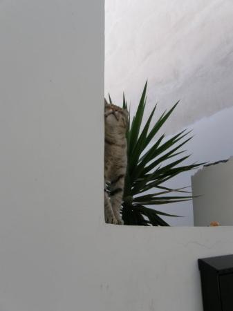 คอรินท์, กรีซ: Greek cat