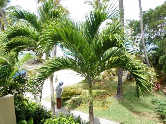 เซนต์ โทมัส: Trimming the palm trees.