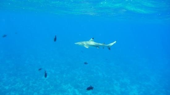 โบราโบรา, เฟรนช์โปลินีเซีย: Tiburón de punta negra (de arrecife) no muerde, pero impone.
