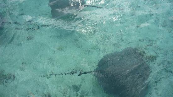 โบราโบรา, เฟรนช์โปลินีเซีย: Una raya o sting ray.