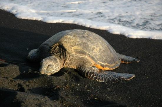 Captain Cook, ฮาวาย: Honu Green Sea Turtle