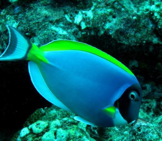 """มัลดีฟส์ - บันโดส์: Bandos, Asia """"Doris"""" Surgeon fish"""