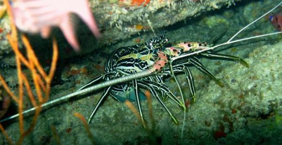 มัลดีฟส์ - บันโดส์: Bandos, Asia Lobster