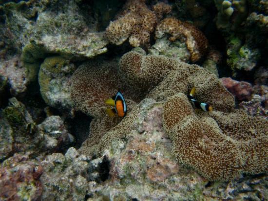 มัลดีฟส์ - บันโดส์: Bandos, Asia Finding Nemo