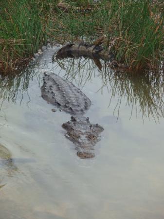 Chichen Itza, เม็กซิโก: un croco en liberté avec qui j'ai symphatisé